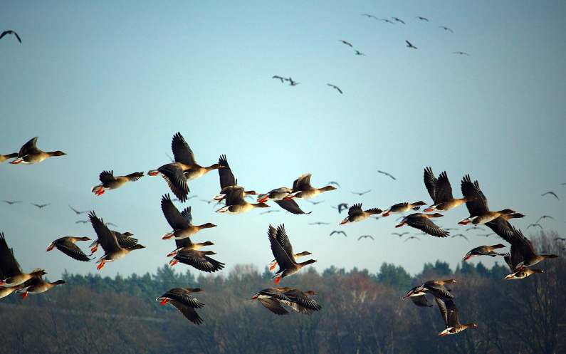 The geese have finally arrived in Hungary!